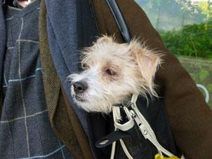 Hund in der Tasche, Quelle: sxc.hu, BeverlyLR