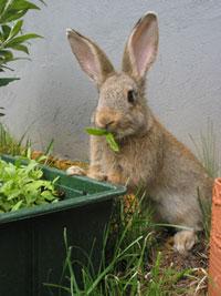 Die RHD-Erkrankung verläft beim Kaninchen meist tödlich, © Bild: sxc.hu