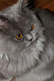 Graue Katze, © sxc.hu