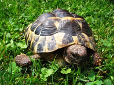Landschildkröte im Gras